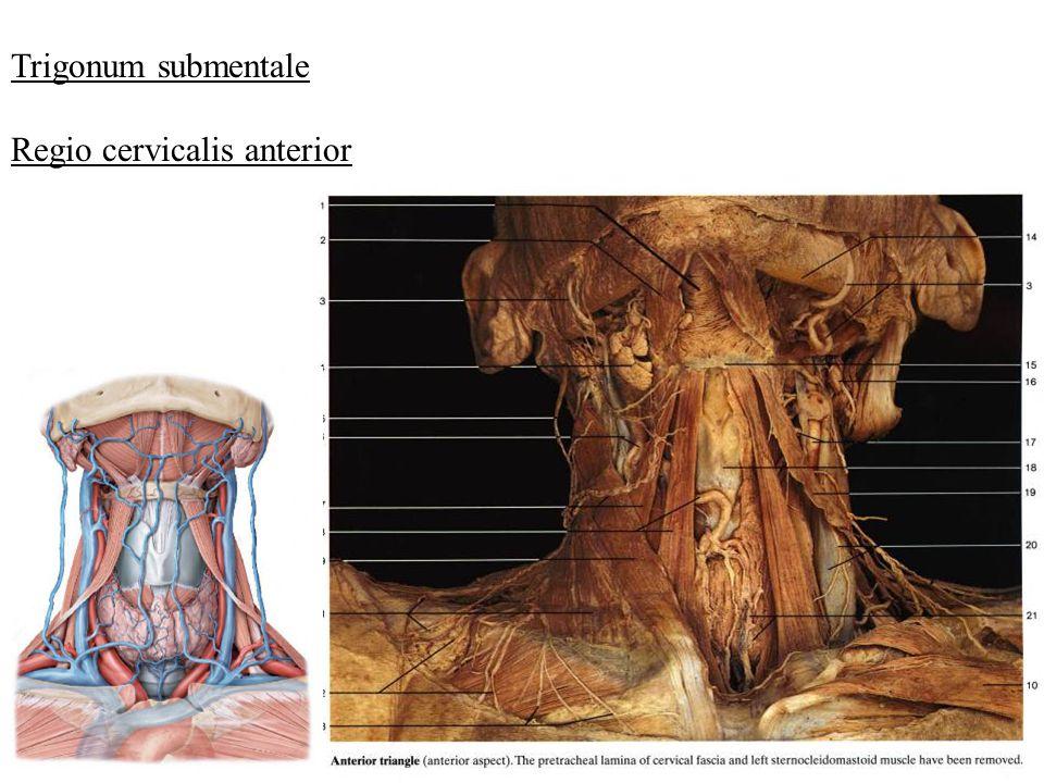 Trigonum submentale Regio cervicalis anterior