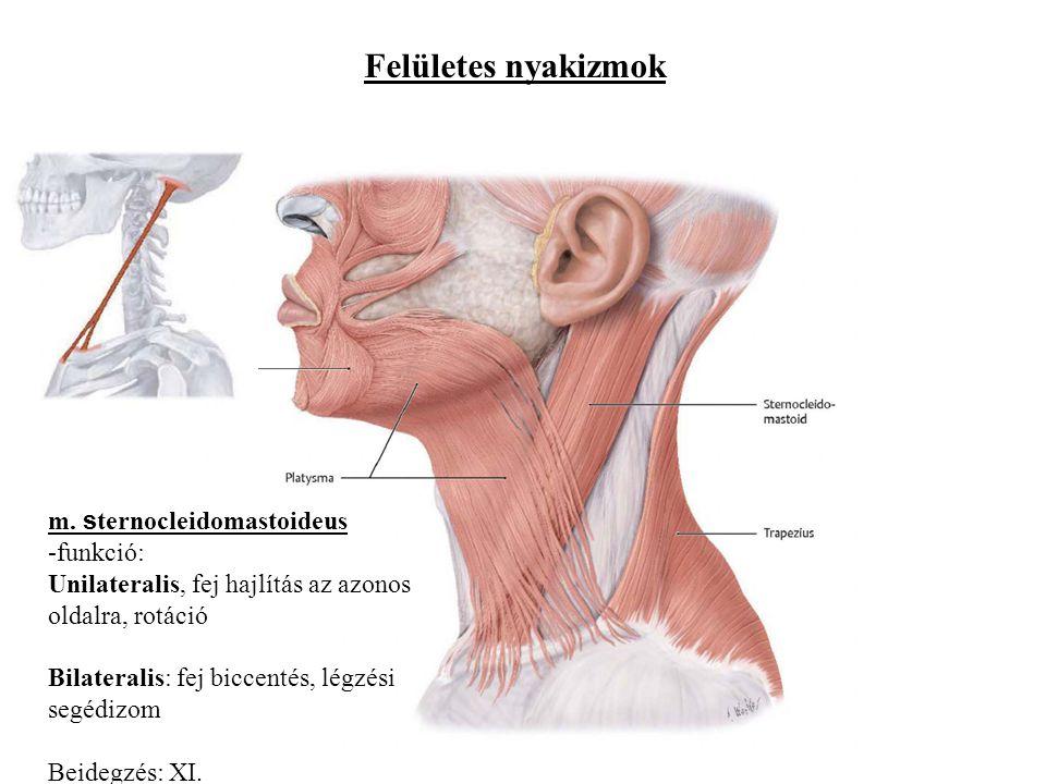 Felületes nyakizmok m. s ternocleidomastoideus -funkció: Unilateralis, fej hajlítás az azonos oldalra, rotáció Bilateralis: fej biccentés, légzési seg