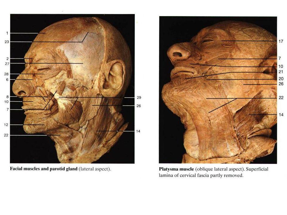 Felületes nyakizmok m.trapezius Részei: -p. descendens -p.
