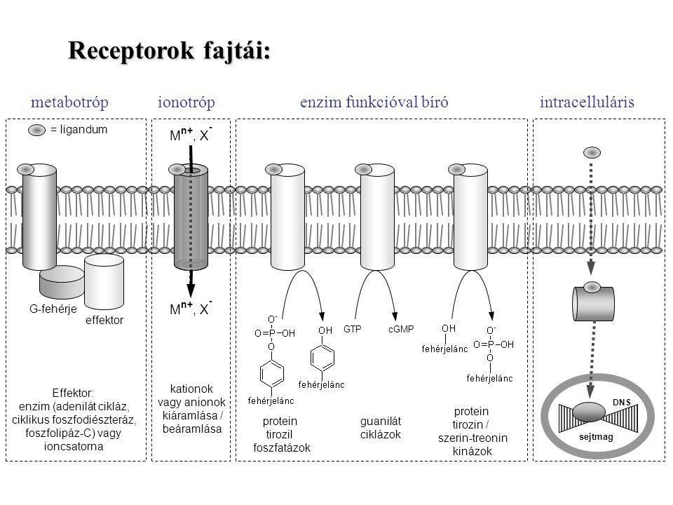 Receptorok fajtái: GTPcGMP protein tirozil foszfatázok protein tirozin / szerin-treonin kinázok guanilát ciklázok G-fehérje effektor Effektor: enzim (adenilát cikláz, ciklikus foszfodiészteráz, foszfolipáz-C) vagy ioncsatorna = ligandum kationok vagy anionok kiáramlása / beáramlása sejtmag DNS M n+, X - metabotróp ionotrópenzim funkcióval bíró intracelluláris