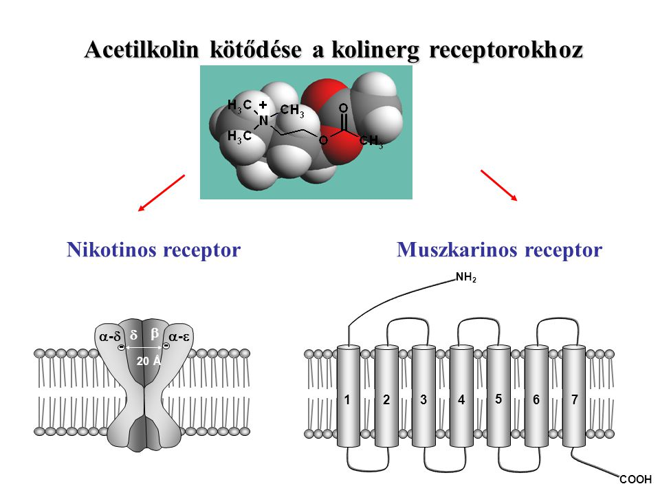 Acetilkolin kötődése a kolinerg receptorokhoz Nikotinos receptor Muszkarinos receptor --   -- - - 20 Å 1234 5 67 NH 2 COOH