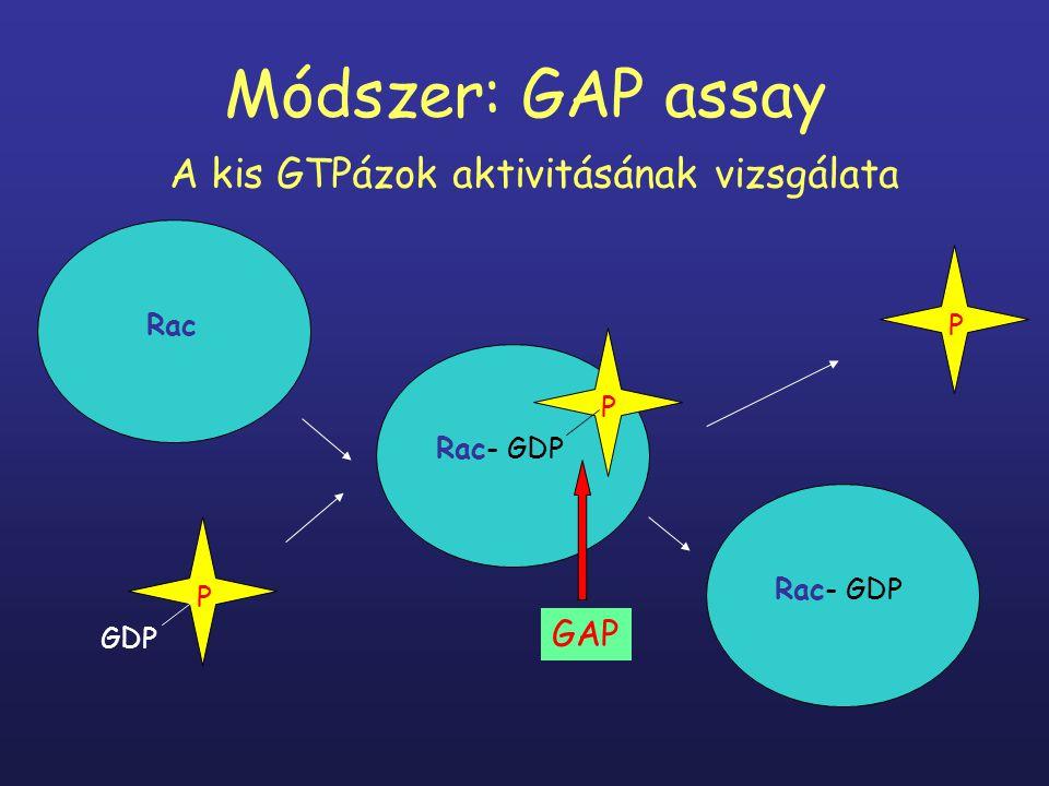 Módszer: GAP assay A kis GTPázok aktivitásának vizsgálata Rac GDP P Rac- GDP P P GAP