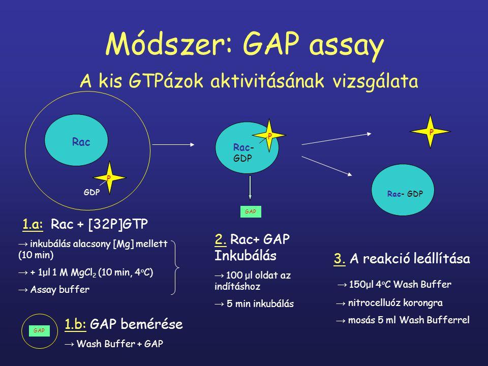 Az oldatok összeállítása Rac töltése: 86μl nucleotide depletion buffer* 10μl 10 mg/ml BSA (bovine serum albumin) 1μl 10 mM ATP 1μl 10 mM DTT 1μl Rac (1-2 μg) 1μl [32P]GTP izotóp (25 μl= 10 MBq) +1μl 1M MgCl 2 Assay buffer: 100μl 10 mg/ml BSA 10μl 10 mM ATP 10μl 10 mM DTT 2-8 ml → 100 μl az indításhoz 10μl 10 mM GTP ad 1 ml Wash Buffer** 10 min inkubálás szobahőm.