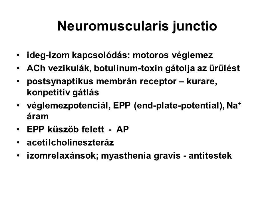 Neuromuscularis junctio ideg-izom kapcsolódás: motoros véglemez ACh vezikulák, botulinum-toxin gátolja az ürülést postsynaptikus membrán receptor – ku