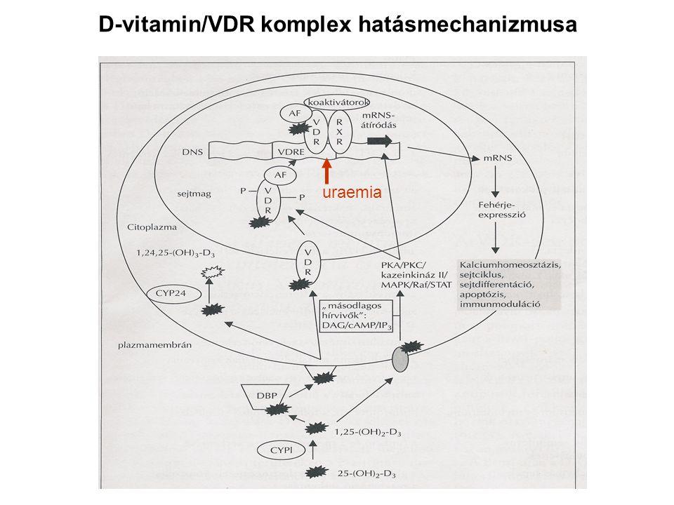 D-vitamin/VDR komplex hatásmechanizmusa uraemia
