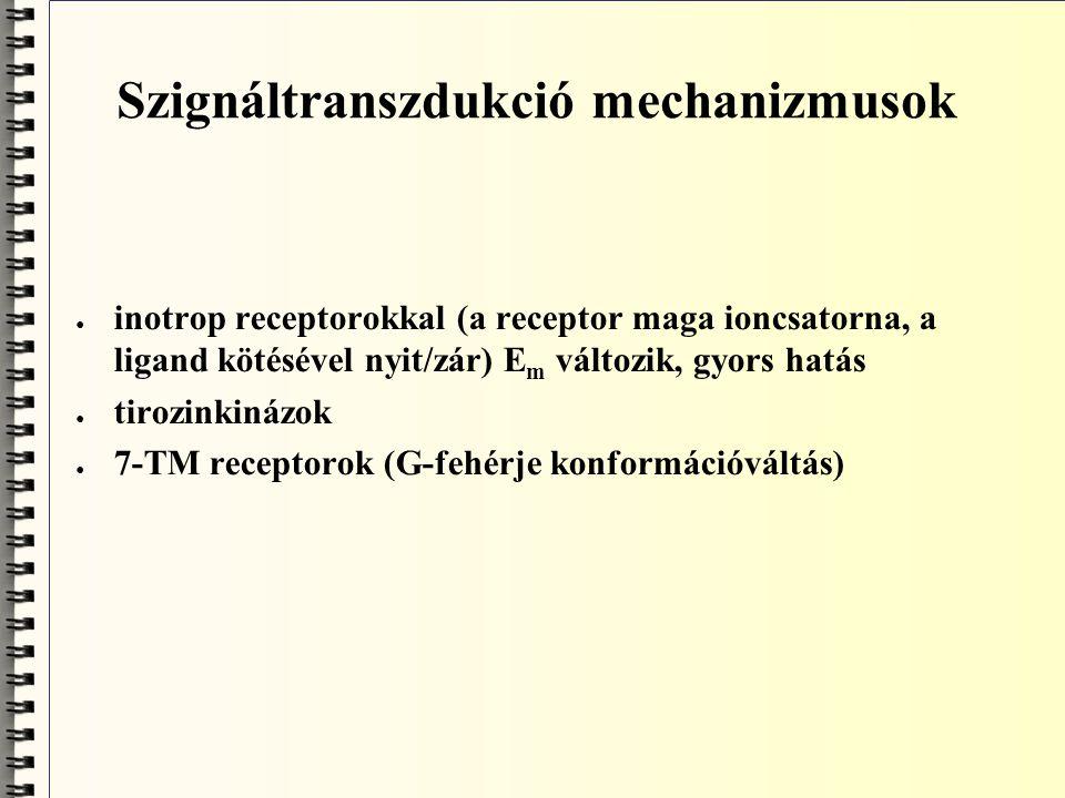 Kation csatornák ● nikotinos ACh, serotonin, glutamát receptorok ● Na +, K + nem szelektív, főleg Na + mozgást enged befele ● helyi depolarizáció; vázizom neuromuscularis synapsisa ● 5 alegység; izomorfia; vázizom típusú, kuraréval bénítható - izomrelaxans