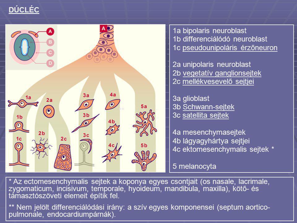 DÚCLÉC 1a bipolaris neuroblast 1b differenciálódó neuroblast 1c pseudounipoláris érzőneuron 2a unipolaris neuroblast 2b vegetatív ganglionsejtek 2c me