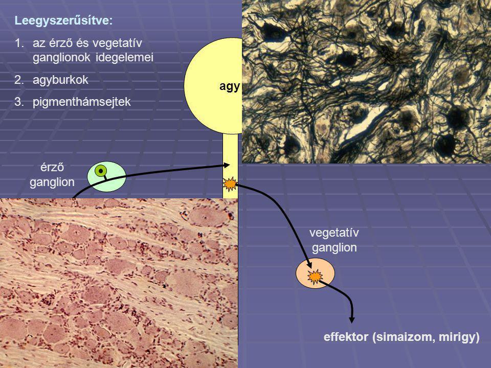 agy gerincvelő érző ganglion vegetatív ganglion receptor effektor (simaizom, mirigy) Leegyszerűsítve: 1.az érző és vegetatív ganglionok idegelemei 2.a