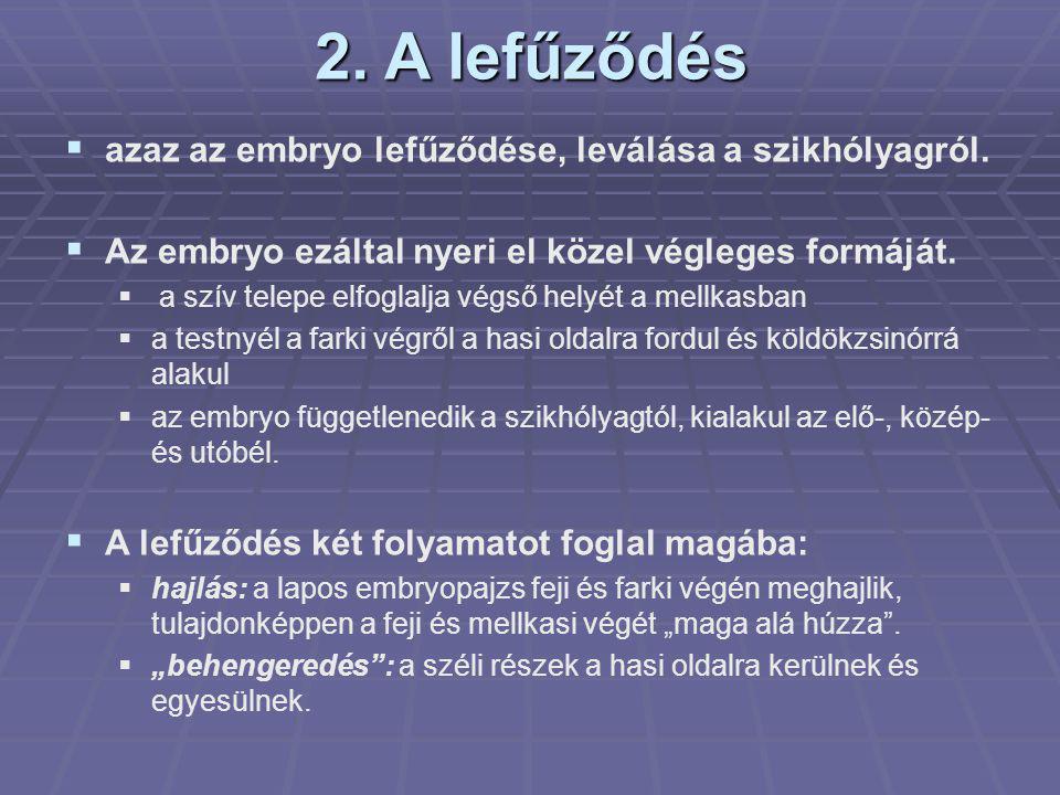 2. A lefűződés  azaz az embryo lefűződése, leválása a szikhólyagról.  Az embryo ezáltal nyeri el közel végleges formáját.  a szív telepe elfoglalja