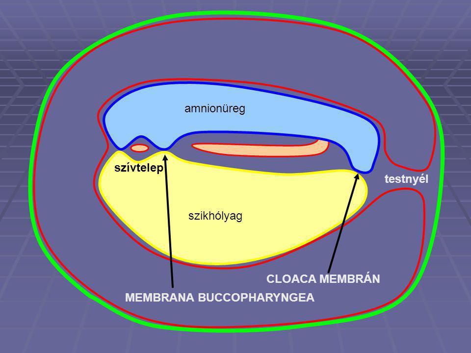 amnionüreg szikhólyag testnyél MEMBRANA BUCCOPHARYNGEA CLOACA MEMBRÁN szívtelep