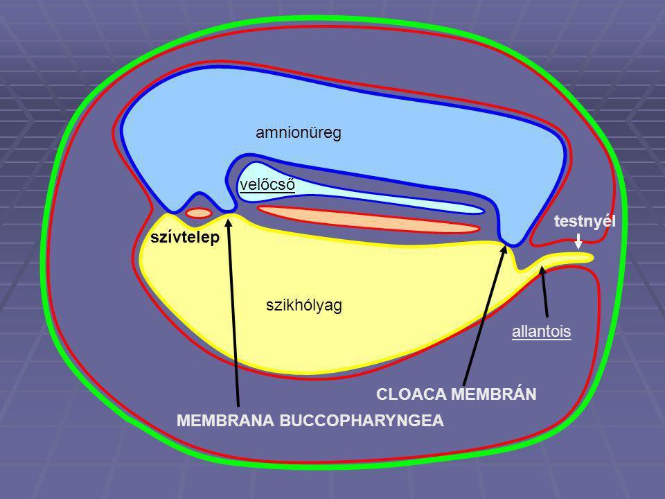 amnionüreg szikhólyag velőcső testnyél szívtelep allantois MEMBRANA BUCCOPHARYNGEA CLOACA MEMBRÁN