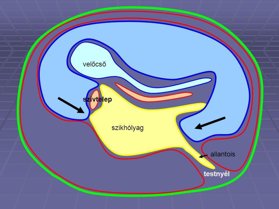 velőcső szívtelep szikhólyag testnyél allantois