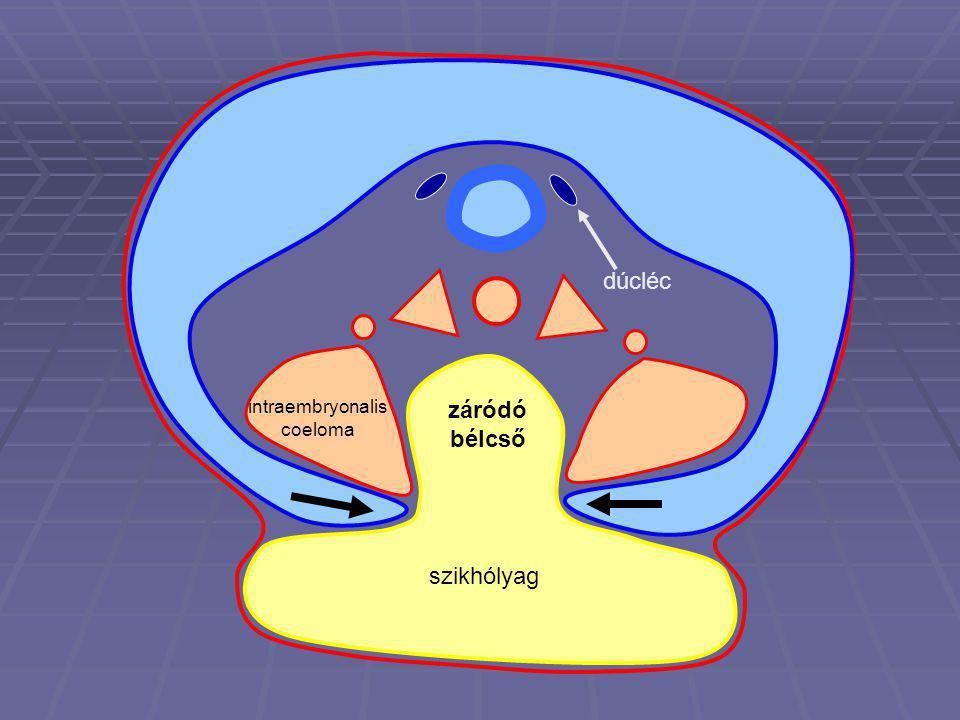 szikhólyag dúcléc intraembryonalis coeloma záródó bélcső