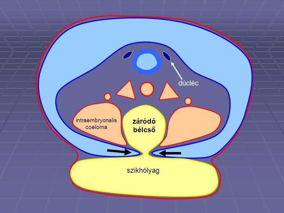 szikhólyag dúcléc záródó bélcső intraembryonalis coeloma