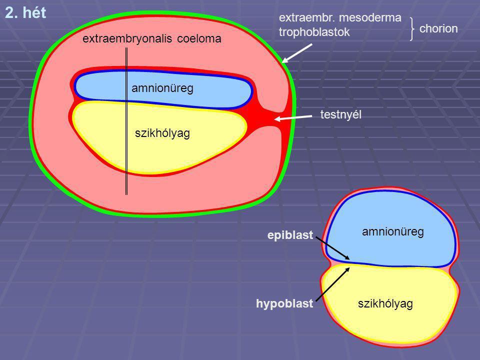 2. hét amnionüreg szikhólyag testnyél extraembryonalis coeloma extraembr. mesoderma trophoblastok chorion amnionüreg szikhólyag epiblast hypoblast