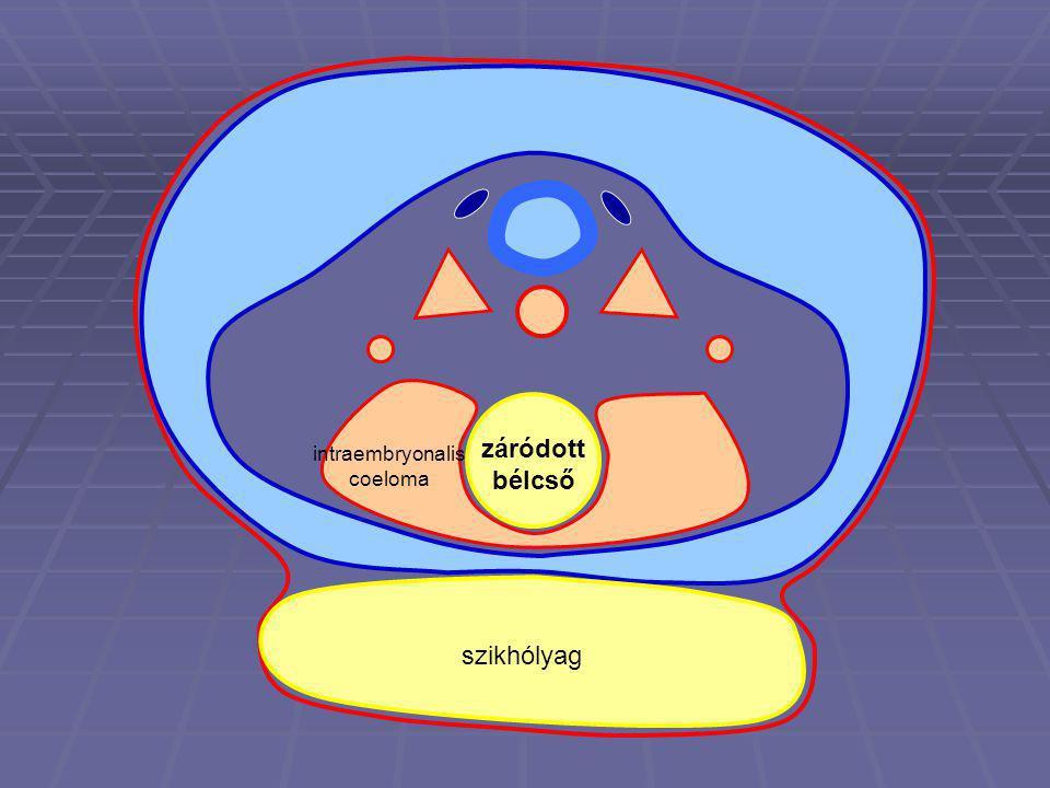záródott bélcső szikhólyag intraembryonalis coeloma