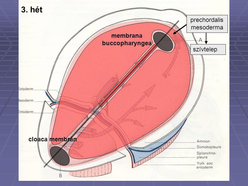prechordalis mesoderma szívtelep membrana buccopharyngea cloaca membrán 3. hét
