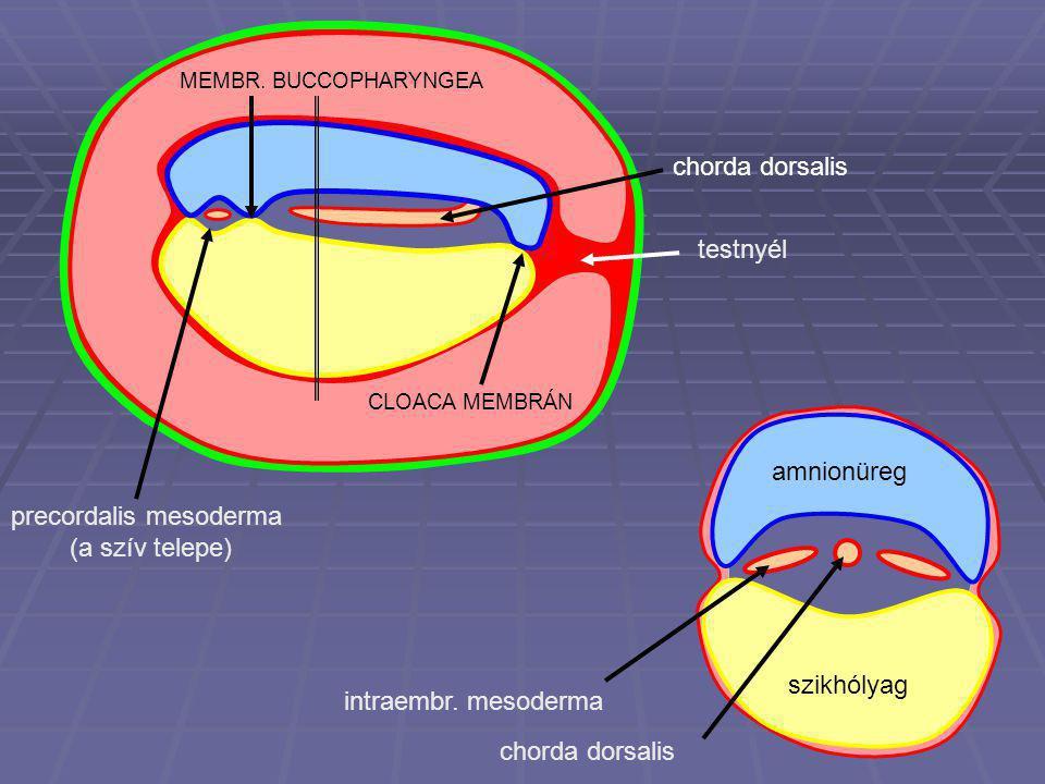 testnyél szikhólyag MEMBR. BUCCOPHARYNGEA CLOACA MEMBRÁN precordalis mesoderma (a szív telepe) chorda dorsalisamnionüreg szikhólyag intraembr. mesoder