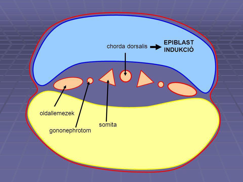 chorda dorsalis EPIBLAST INDUKCIÓ oldallemezek gononephrotom somita