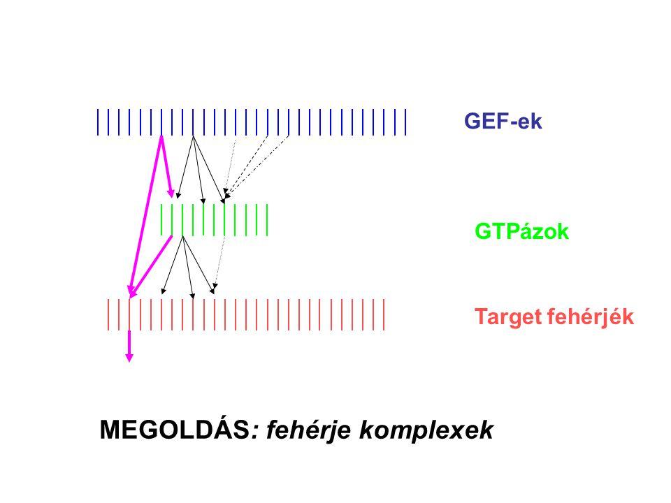 GEF-ek GTPázok Target fehérjék MEGOLDÁS: fehérje komplexek