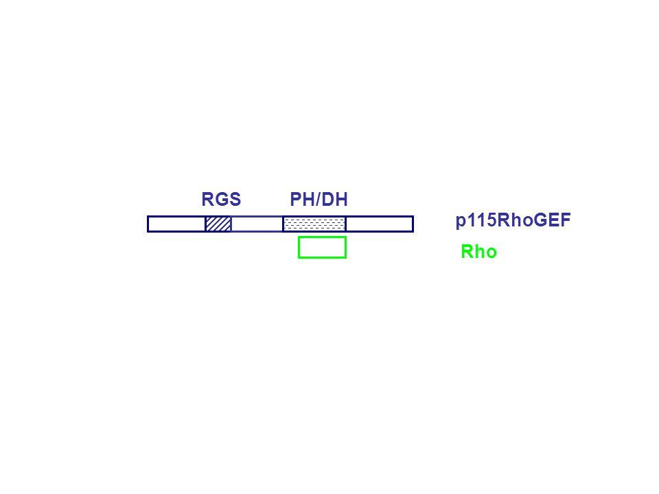 PH/DHRGS p115RhoGEF Rho