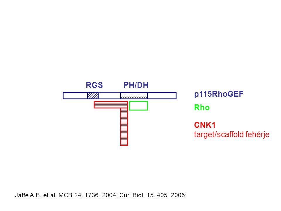 PH/DHRGS p115RhoGEF Rho CNK1 target/scaffold fehérje Jaffe A.B.