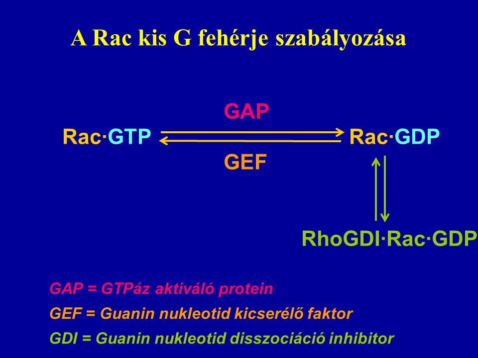 Bigay et al. Nature 2003. 426. 563 Az ARF-GAP1 szabályozásának modellje