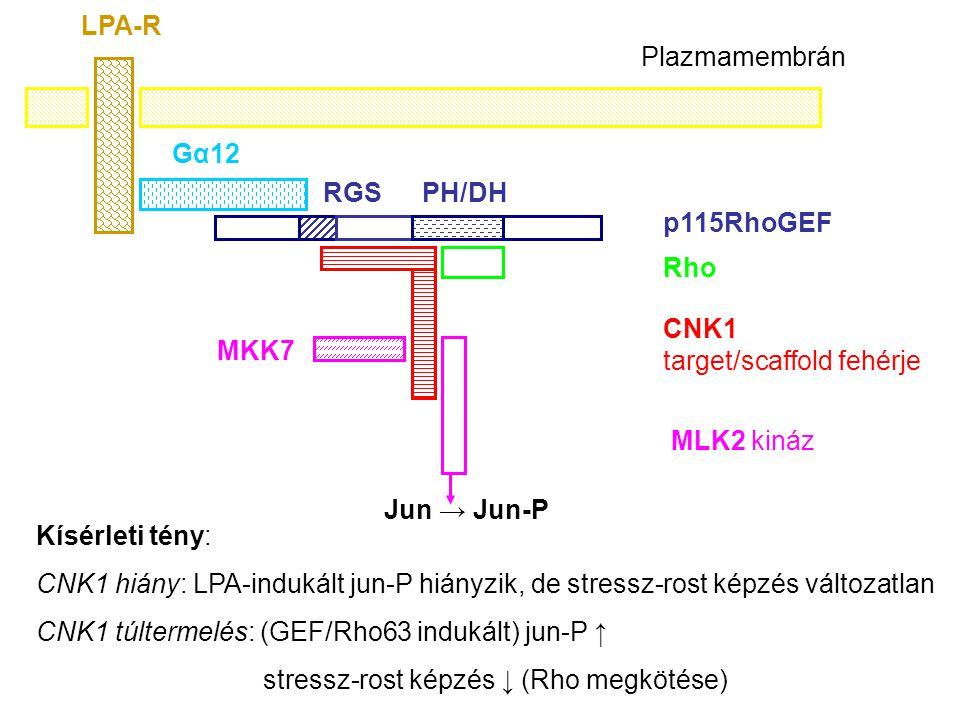 PH/DHRGS p115RhoGEF Rho CNK1 target/scaffold fehérje MLK2 kináz Jun → Jun-P MKK7 Gα12 LPA-R Plazmamembrán Kísérleti tény: CNK1 hiány: LPA-indukált jun-P hiányzik, de stressz-rost képzés változatlan CNK1 túltermelés: (GEF/Rho63 indukált) jun-P ↑ stressz-rost képzés ↓ (Rho megkötése)