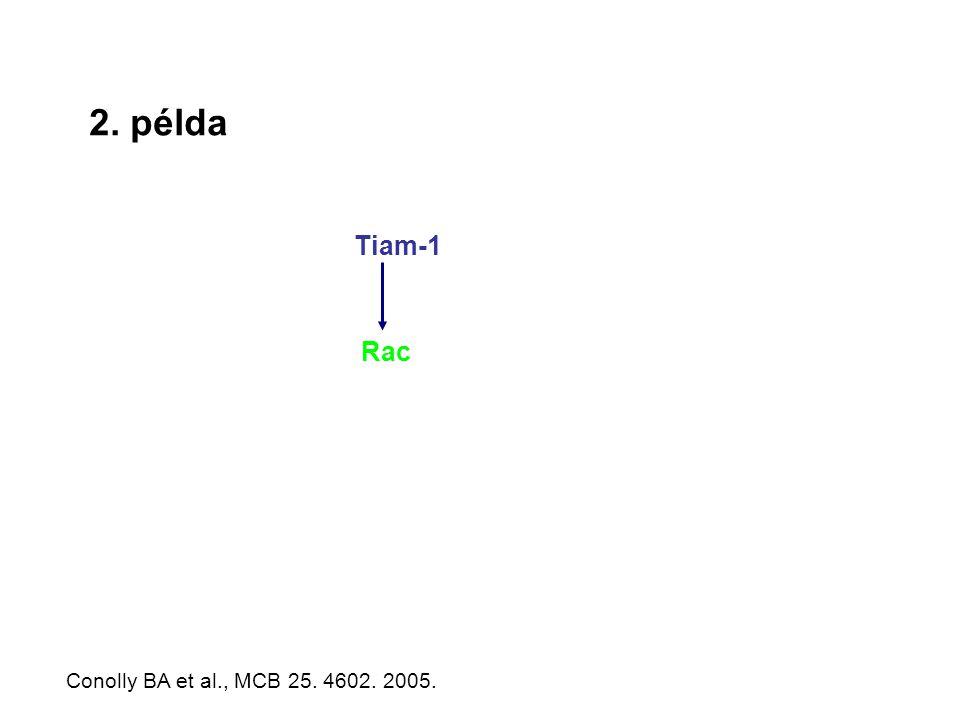 2. példa Tiam-1 Rac Conolly BA et al., MCB 25. 4602. 2005.