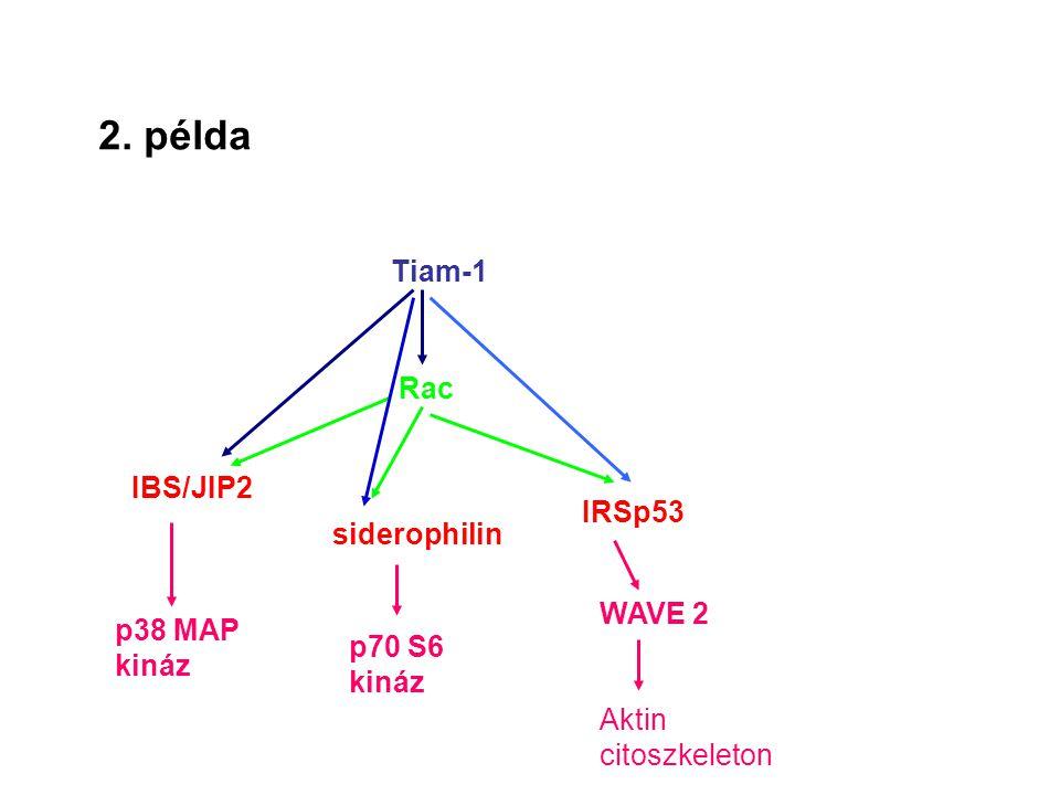 2. példa Tiam-1 Rac IBS/JIP2 siderophilin IRSp53 p38 MAP kináz p70 S6 kináz WAVE 2 Aktin citoszkeleton