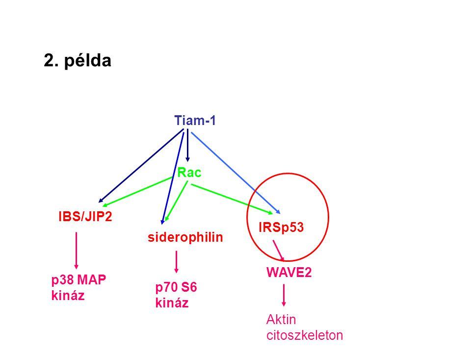 2. példa Tiam-1 Rac IBS/JIP2 siderophilin IRSp53 p38 MAP kináz p70 S6 kináz WAVE2 Aktin citoszkeleton