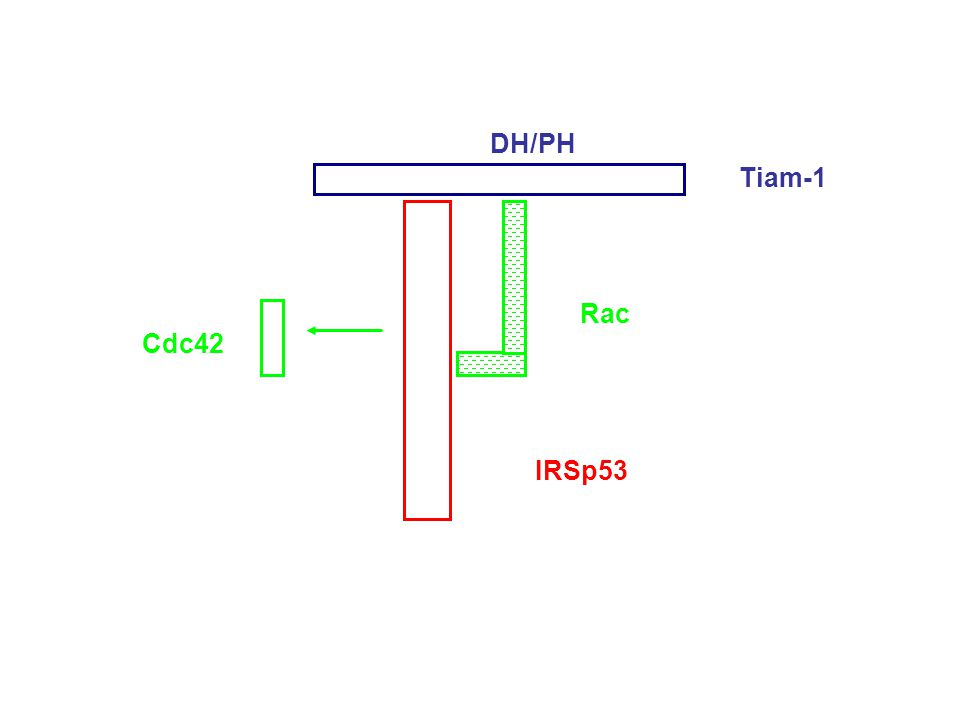 IRSp53 Tiam-1 Rac Cdc42 DH/PH