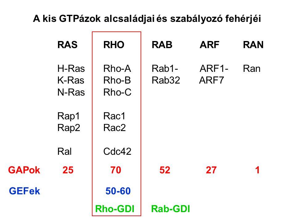 A kis GTPázok alcsaládjai és szabályozó fehérjéi RAS RHO RAB ARF RAN H-Ras Rho-A Rab1- ARF1- Ran K-Ras Rho-B Rab32 ARF7 N-Ras Rho-C Rap1 Rac1 Rap2 Rac2 Ral Cdc42 GAPok 25 70 52 27 1 GEFek 50-60 Rho-GDIRab-GDI