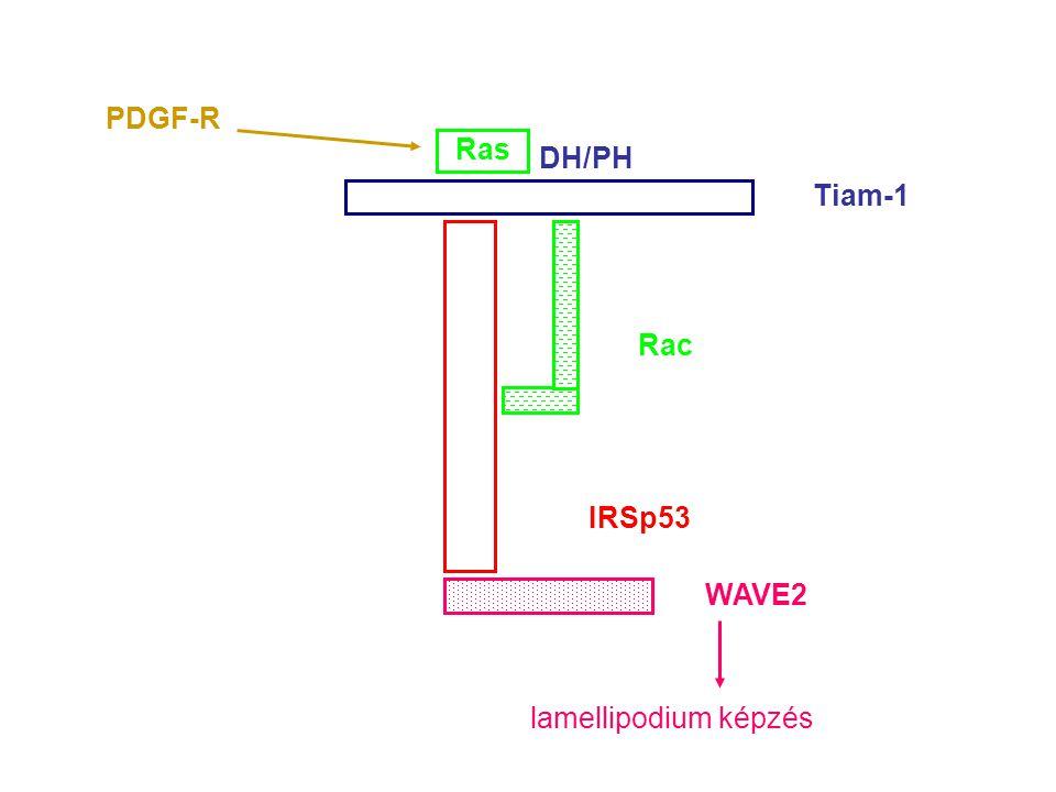 IRSp53 Tiam-1 Rac WAVE2 lamellipodium képzés DH/PH Ras PDGF-R