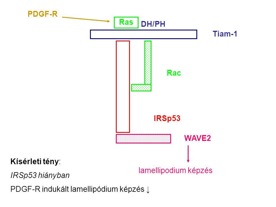 IRSp53 Tiam-1 Rac WAVE2 lamellipodium képzés DH/PH Ras PDGF-R Kísérleti tény: IRSp53 hiányban PDGF-R indukált lamellipódium képzés ↓
