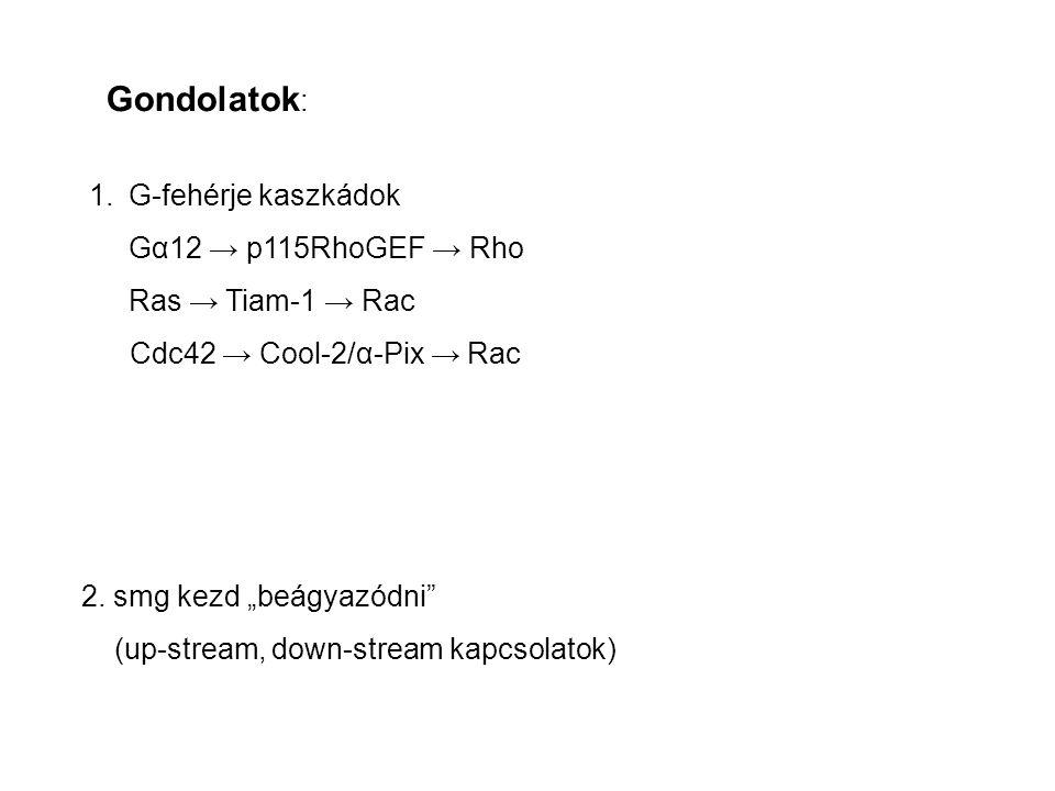 Gondolatok : 1.G-fehérje kaszkádok Gα12 → p115RhoGEF → Rho Ras → Tiam-1 → Rac Cdc42 → Cool-2/α-Pix → Rac 2.