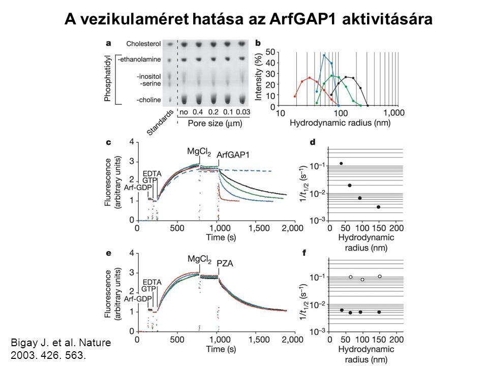 Bigay J. et al. Nature 2003. 426. 563. A vezikulaméret hatása az ArfGAP1 aktivitására