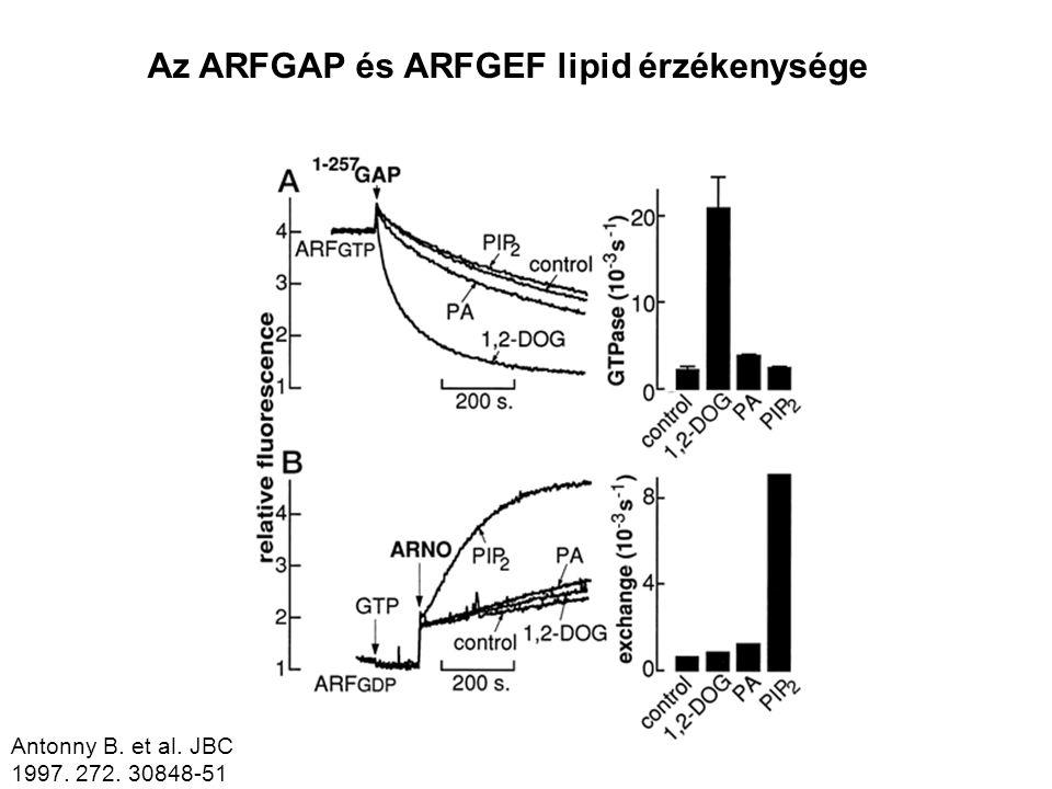 ARF1. Antonny B. et al. JBC 1997. 272. 30848-51 Az ARFGAP és ARFGEF lipid érzékenysége