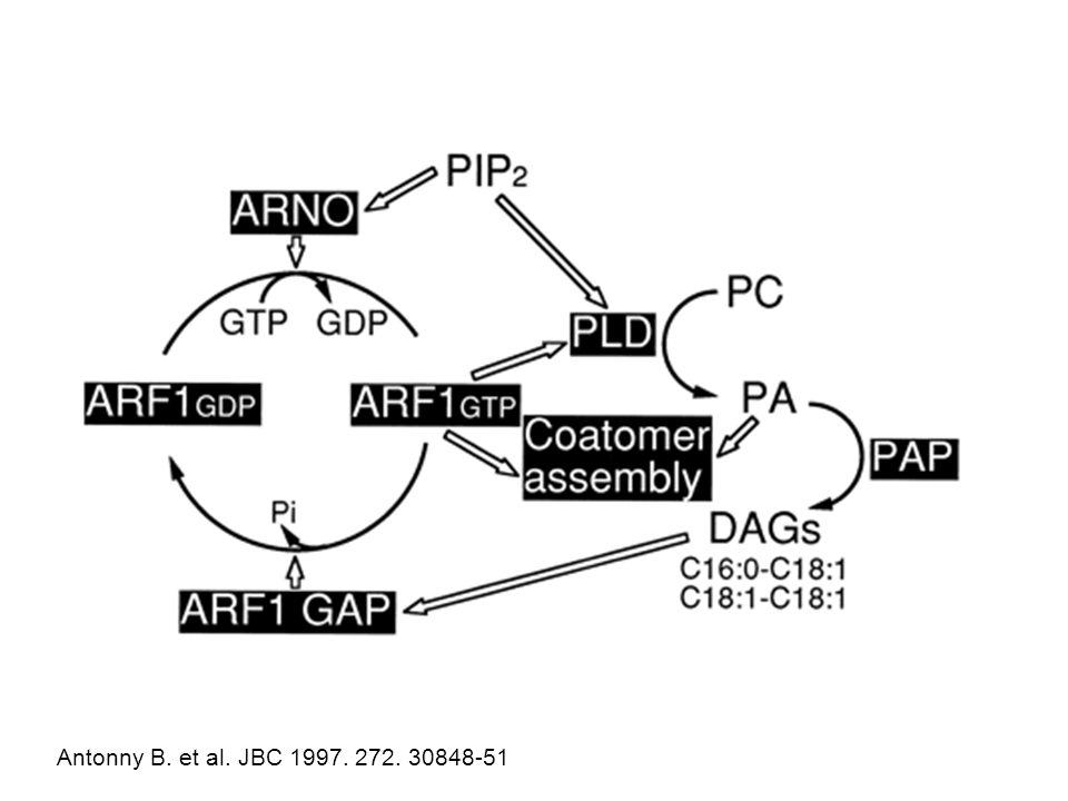 Antonny B. et al. JBC 1997. 272. 30848-51