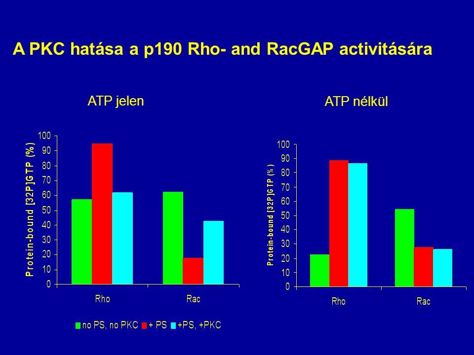 A PKC hatása a p190 Rho- and RacGAP activitására ATP jelen ATP nélkül