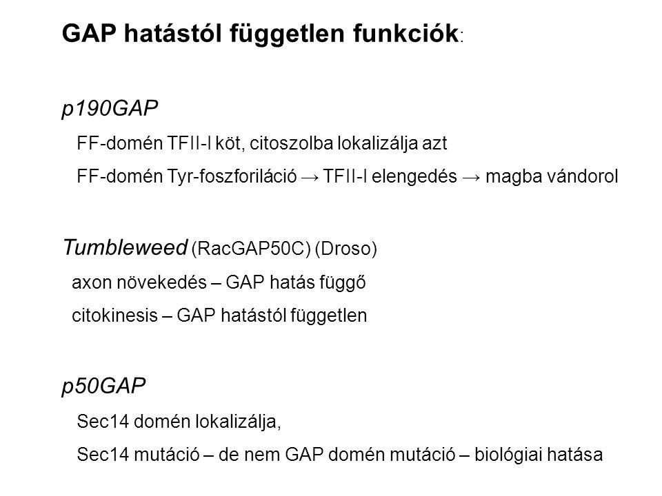 GAP hatástól független funkciók : p190GAP FF-domén TFII-I köt, citoszolba lokalizálja azt FF-domén Tyr-foszforiláció → TFII-I elengedés → magba vándorol Tumbleweed (RacGAP50C) (Droso) axon növekedés – GAP hatás függő citokinesis – GAP hatástól független p50GAP Sec14 domén lokalizálja, Sec14 mutáció – de nem GAP domén mutáció – biológiai hatása