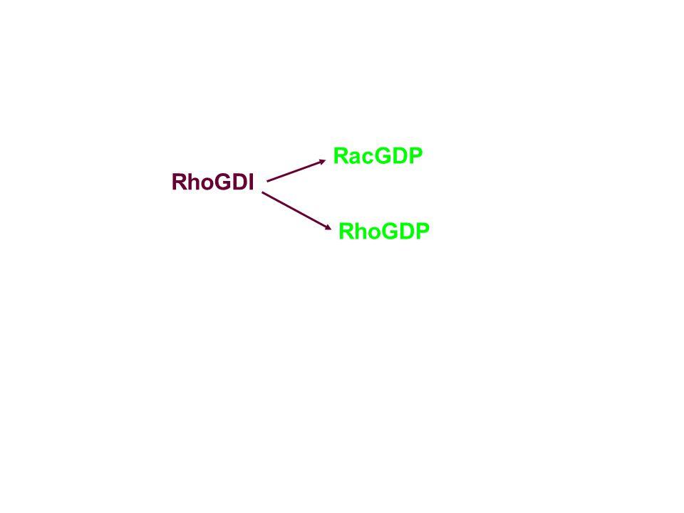 RhoGDI RacGDP RhoGDP