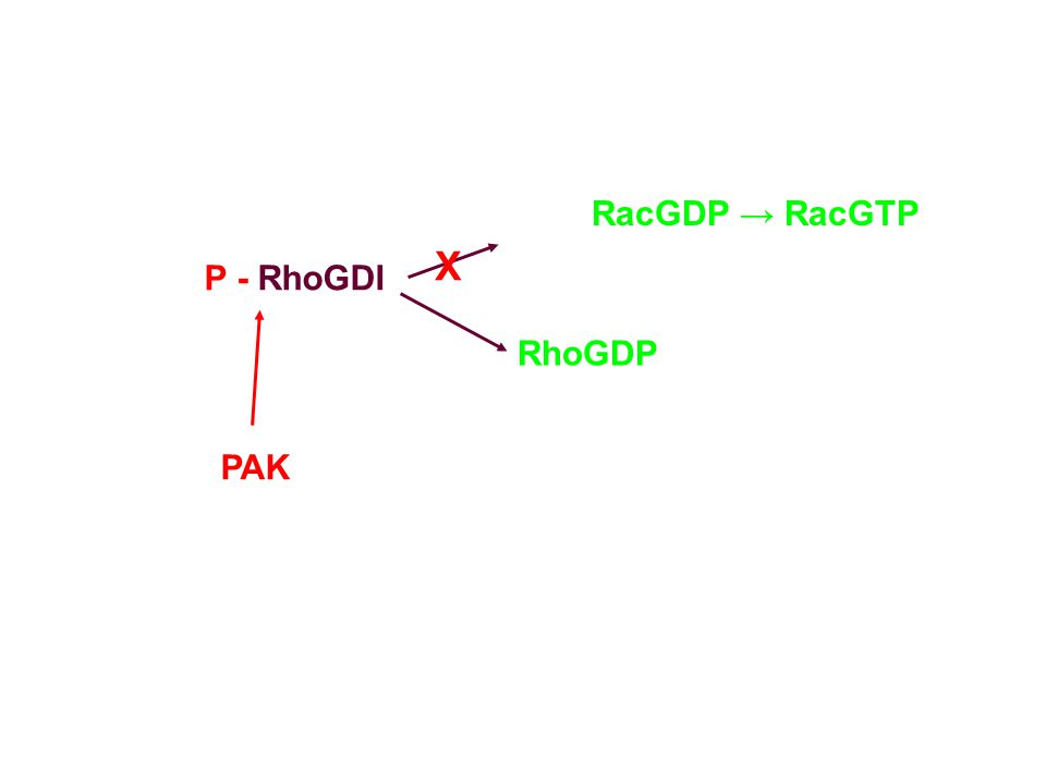 P - RhoGDI RacGDP → RacGTP RhoGDP PAK X