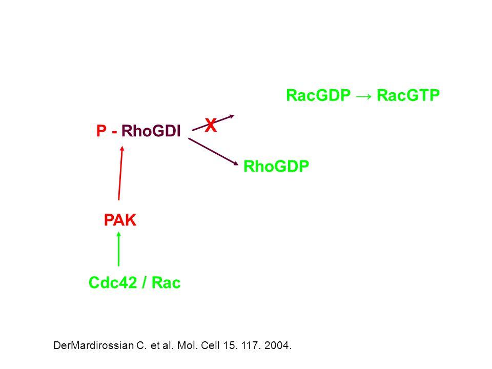 P - RhoGDI RhoGDP PAK X Cdc42 / Rac RacGDP → RacGTP DerMardirossian C.