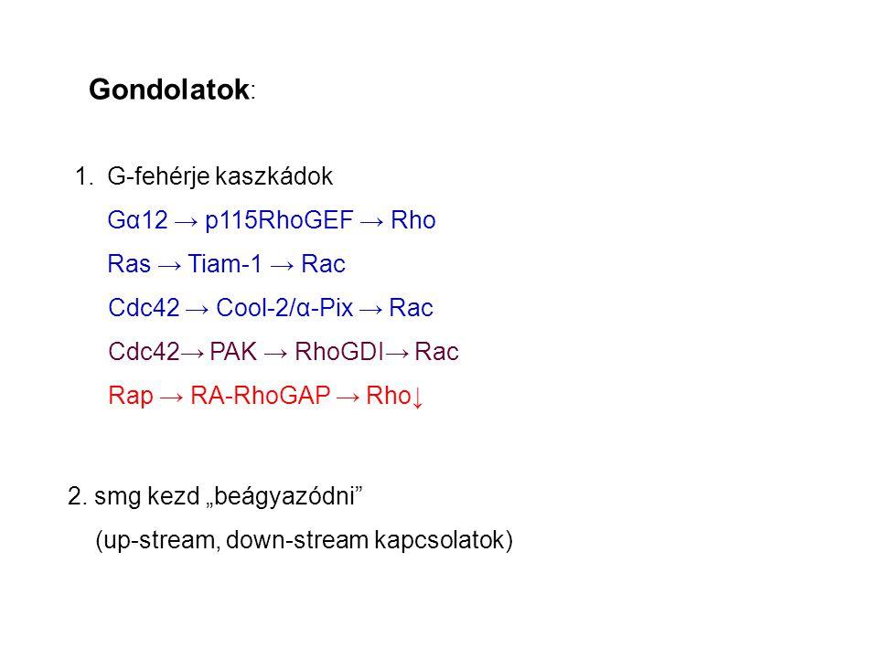 Gondolatok : 1.G-fehérje kaszkádok Gα12 → p115RhoGEF → Rho Ras → Tiam-1 → Rac Cdc42 → Cool-2/α-Pix → Rac Cdc42→ PAK → RhoGDI→ Rac Rap → RA-RhoGAP → Rho↓ 2.