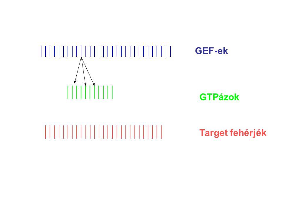 p190GAP relatív menyisége Bound 32 P-GTP (%) PS hatása p190 Rho-GAP és Rac-GAP aktivitására Rho Rac + PS Ligeti et al.