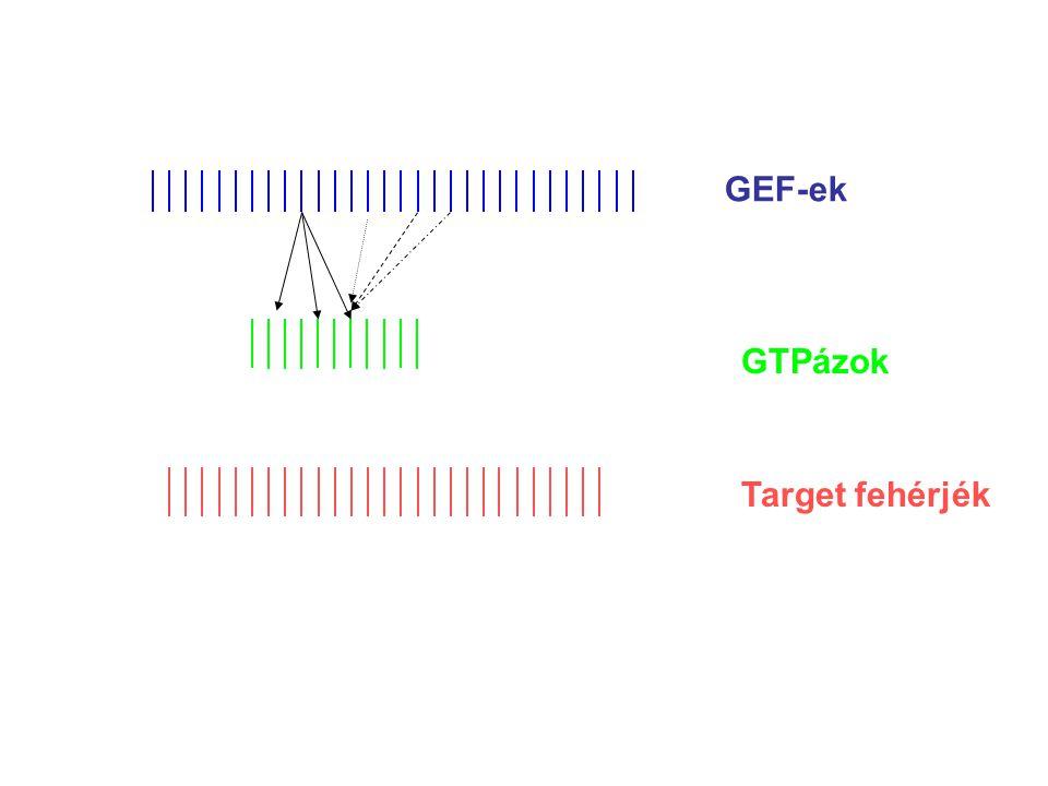 PH/DHRGS p115RhoGEF Rho CNK1 target/scaffold fehérje MLK2 kináz Jun → Jun-P MKK7 Gα12