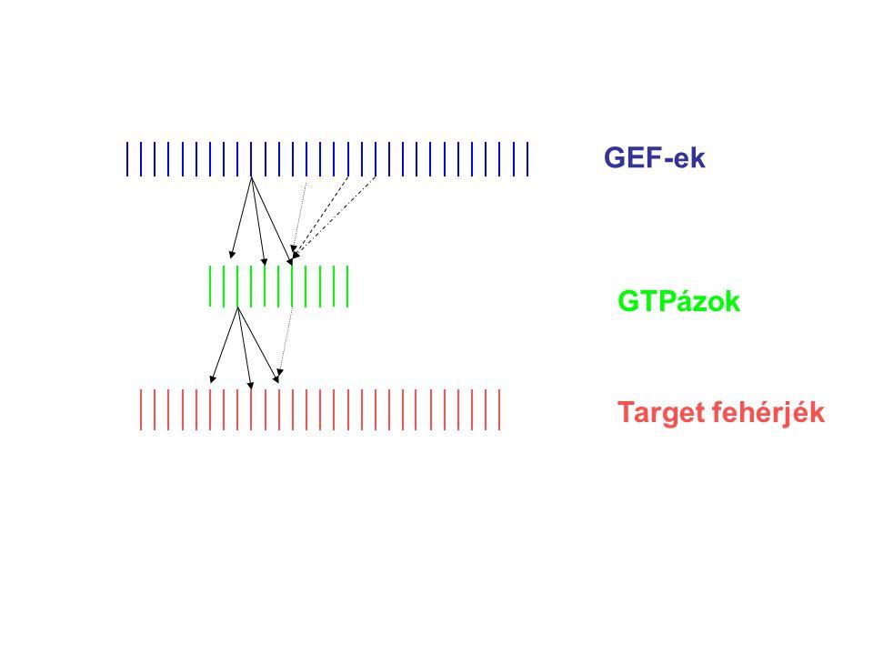 GEF-ek GTPázok Target fehérjék PROBLÉMA: Hol a specificitás?