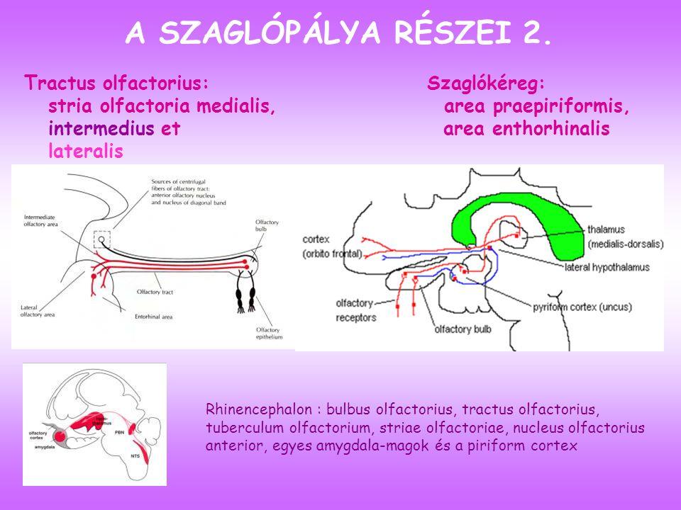 Tractus olfactorius: stria olfactoria medialis, intermedius et lateralis Szaglókéreg: area praepiriformis, area enthorhinalis A SZAGLÓPÁLYA RÉSZEI 2.