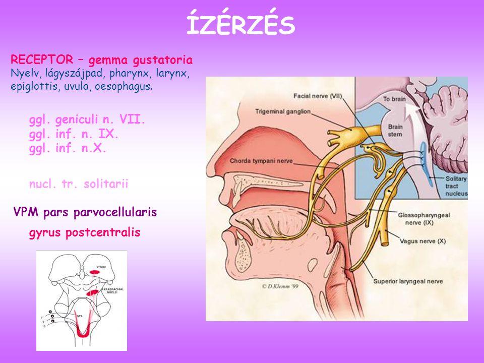ÍZÉRZÉS RECEPTOR – gemma gustatoria Nyelv, lágyszájpad, pharynx, larynx, epiglottis, uvula, oesophagus.